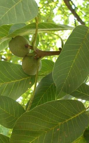 Φύλλα καρυδιάς